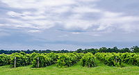 Rows of grape vines, in this case Riesling, grow in upstate New York, in the Finger Lakes Region, Seneca County, New York