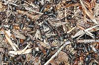 Wood Ants - Formica rufa