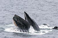 humpback whales, Megaptera novaeangliae, bubble-net feeding, Alaska, USA, Pacific Ocean