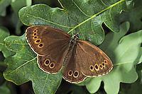 Gelbringfalter, Gelbring-Falter, Lopinga achine, woodland brown, La Bacchante