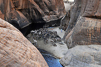 Camels drinking water in the Guelta of Archei where crocodiles can also be found