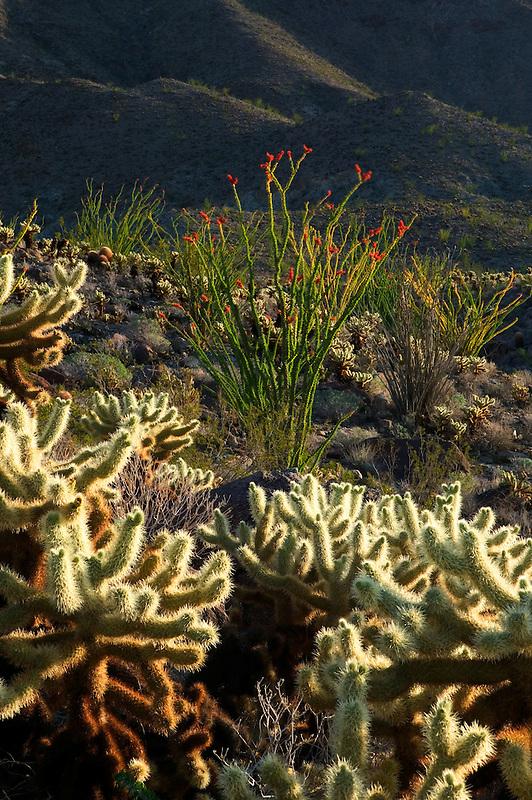 Teddy Bear Cholla and red Ocotillo. Anza Borrego Desert Stated Park, California