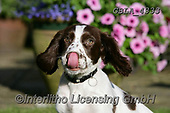 Bob, ANIMALS, REALISTISCHE TIERE, ANIMALES REALISTICOS, dogs, photos+++++,GBLA4333,#a#, EVERYDAY