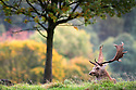 17/10/12 ..Surrounded by stunning Autumn colours, a stag takes a rest from his part in the rutting season at Chatsworth House, Derbyshire....All Rights Reserved - F Stop Press.  www.fstoppress.com. Tel: +44 (0)1335 300098.Copyrighted Image. Fees charged will reflect previously agreed terms or space rates for individual publications, states or country.
