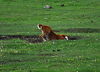 Foal at play with his head in a hole. This photo just cracks me up. Horses have a great sense of humor.