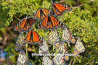 03536-05213 Monarch butterflies (Danaus plexippus) roosting in Eastern Red Cedar tree (Juniperus virginiana),  Prairie Ridge State Natural Area, Marion Co., IL
