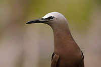 Adult Brown Noddy (Anous stolidus). Dry Tortugas NP, Florida. March.