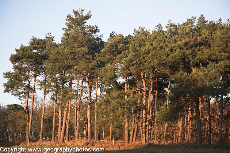 Coniferous trees, Rendlesham, Suffolk, England