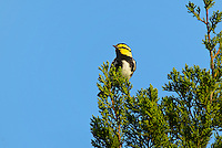 591850055 a wild male golden-cheeked warbler setophaga chrysoparia - was dendroica chrysoparia - an endangered species perches in a pine tree on mike murphy's los ebanos ranch in travis county texas united states