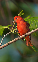 580980026 a wild male summer tanager piranga rubra songbird perches in a small tree on south padre island cameron county texas united states