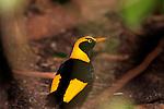 Regent Bowerbird, Sericulus chrysocephalus