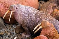 Walruses Odobenus rosmarus divergens Walrus Islands State Game Sanctuary Round Island Bristol Bay Alaska pinnipeds