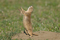 "Black-tailed Prairie Dog (Cynomys ludovicianus) doing a ""jump-yip"" call.  While not definitive, most prairie dog researchers think it is a signal meaning ""all is clear"" or ""I'm OK."""