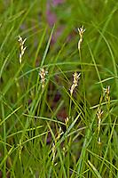 Zittergras-Segge, Zittergrassegge, Alpengras, Seegras-Segge, Waldhaar, Rasch, Segge, Seggen, Carex brizoides, Quaking-grass Sedge, Quaking grass sedge, Alpine grass, sedges