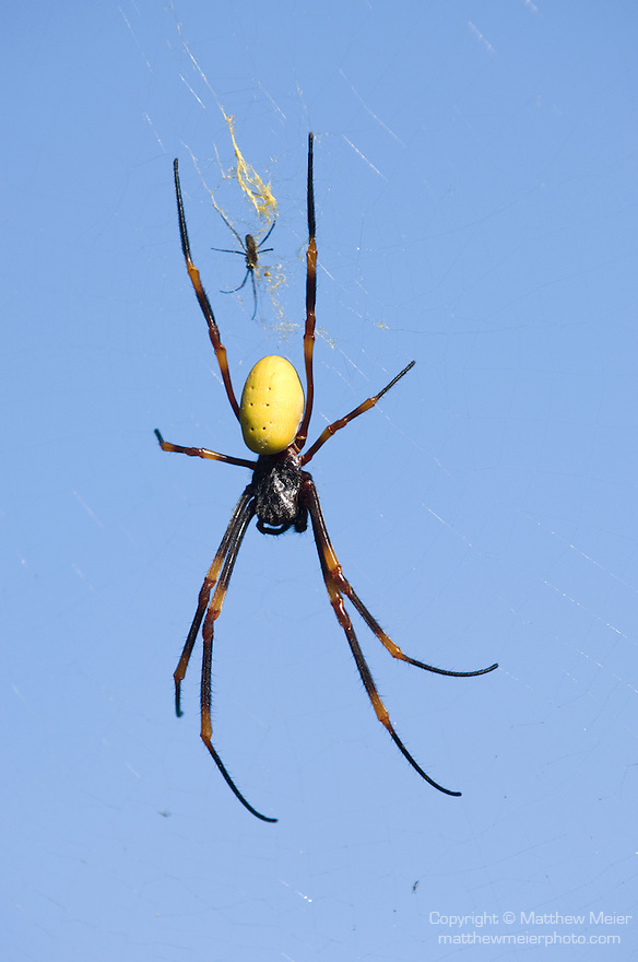 Taveuni, Fiji; a large tree spider in it's web, accompanied by a much smaller spider, possibly it's offspring