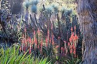 Red flowering Aloe succulent backlit in the Desert Garden at Huntington Library Botanical Garden, California