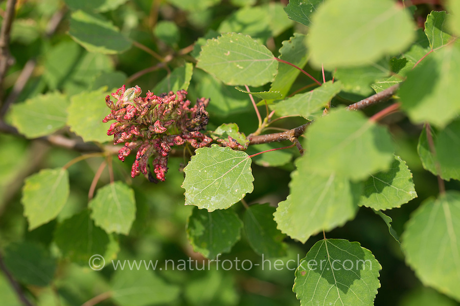 Pappeltrieb-Gallmilbe, Gallmilbe, Gallmilben an Zitterpappel, Aceria dispar an Populus tremula, Aspen Leaf Mite, aspen leafgall mite, Eriophyidae
