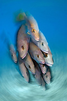gray snapper, Lutjanus griseus, schooling, with slow shutter, swirling effect, Bonaire, Netherlands Antilles, Atlantic Ocean