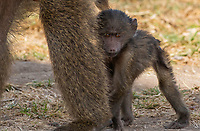A bably Olive Baboon, Papio anubis, stands beside an adult in Ngorongoro Crater, Ngorongoro Conservation Area, Tanzania