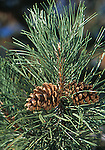 14335-CD Austrian Black Pine, foliage and pine cone, Pinus nigra, in April at Mourning Cloak Ranch & Botanical Garden, Tehachapi, CA USA
