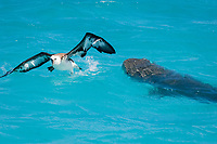 Laysan albatross fledgling, Phoebastria immutabilis, which has landed in the lagoon on its first attempt at flight, escapes from an attack by tiger shark, Galeocerdo cuvier, East Island, French Frigate Shoals, Papahanaumokuakea Marine National Monument, Northwest Hawaiian Islands (Central Pacific Ocean)