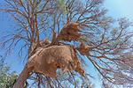 Namibia, Namib-Naukluft National Park, weaver bird nest