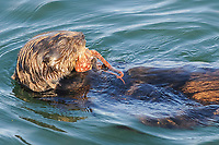 southern sea otter, enhydra lutris nereis, eating an octopus, Monterey Bay National Marine Sanctuary, California, East Pacific Ocean