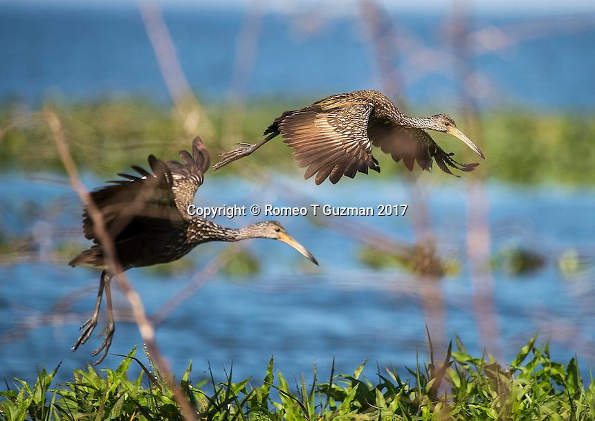 February 4, 2017: Limpkin (Aramus guarauna) Joe Overstreet Landing, Kenansville, FL