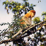 Proboscis monkey, Borneo, Indonesia