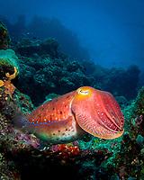 Giant Cuttlefish, Sepia apama, Great Barrier Reef, Australia, Pacific Ocean