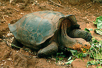 """At the Charles Darwin Research Station on Santa Cruz, I was introduced to Lonesome George, the last of his kind. As the sole remaining Pinta saddleback tortoise he is the worlds rarest creature. It was the saddleback tortoise that inspired the name of the infamous archipelago, which originates from the old Spanish word """"galapago"""" meaning saddle. When Lonesome George dies, the Pinta tortoise will be extinct."""