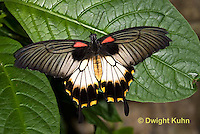 LE45-519z Great Mormon Swallowtail Butterfly, Papilio memnon, Southeast Asia
