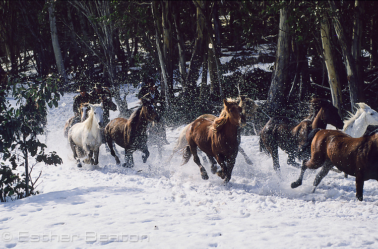 Brumbies (wild horses) running through snow, Mount Buller, Snowy Mountains, Victoria.