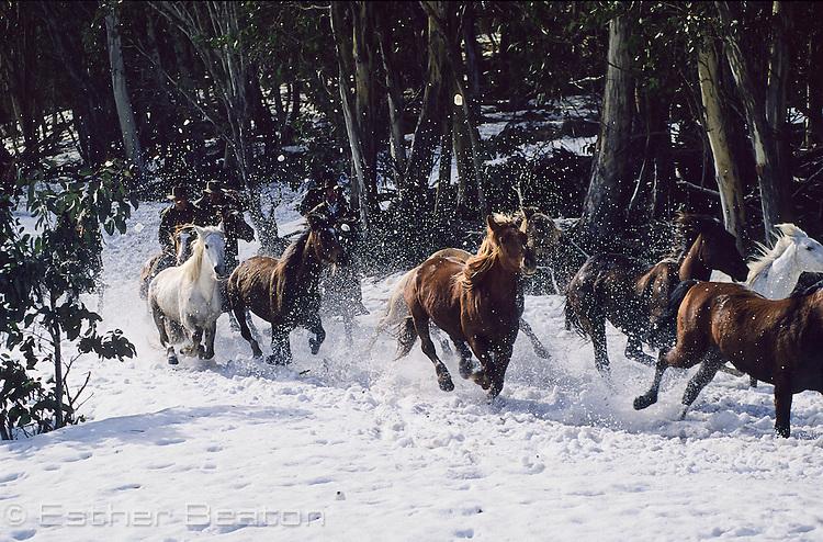 Brumbies (wild horses) running through snow, Mount Buller, Snowy Mountains, Victoria.