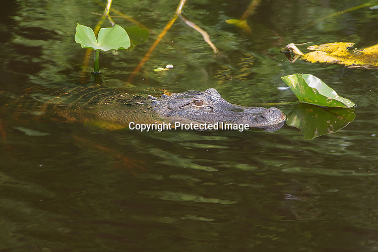 Photograph of an Alligators