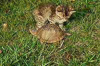 Baby tabby cat, and an ornate box turtle, Terrapene ornata ornata, appear to circle each other in the grass of the yard, Missouri USA