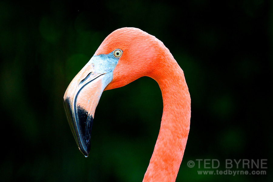 Portrait of Pink Flamingo