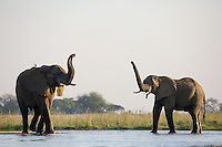 Two bull elephants with raised trunks in the shallows of the Zambezi River.