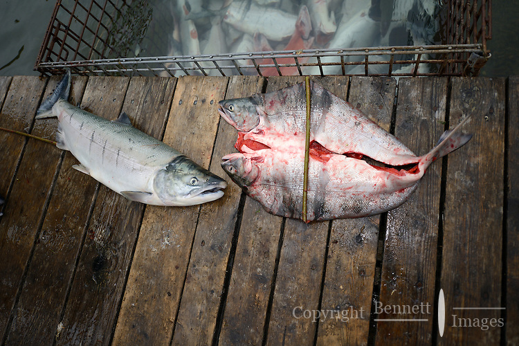 Red (sockeye) salmon (Oncorhynchus nerka) before and after being filleted in the old way at a fish camp on Six Mile Lake near Nondalton, Alaska, adjacent to Lake Clark National Park and Preserve, where the traditional subsistence ways of catching and preserving salmon as they return from the sea in mid July are still practiced today.  NOT FOR USE BY THE MINING INDUSTRY.