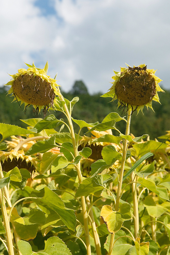 Tournesol or sunflower