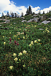 Summer wildflowers at treeline, Holy Cross Wilderness, White River National Forest, Colorado