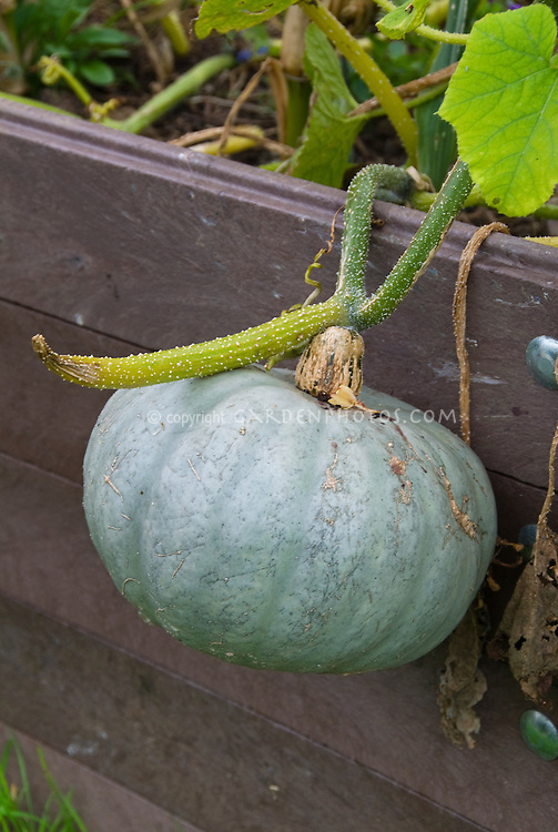 Blue winter squash Hokkaido Stella Blue vegetable growing on vine