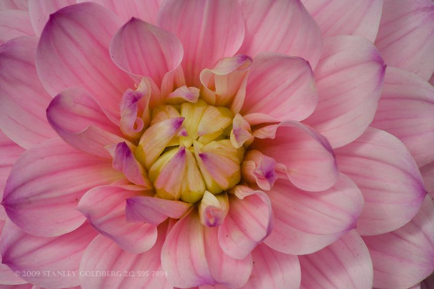 Pink Magenta tipped Dahlia close-up