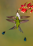 Ecuador, Andean cloud forest, white-booted racket-tail (Ocreatus underwoodii)