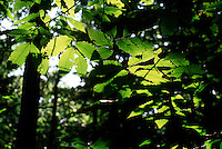 PHOTOSYNTHESIS<br /> Chestnut Sapling<br /> Cheesequake, NJ