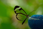 An exquisite little Thick-tipped Greta perched on the edge of a clear glass sipping nectar from a  blue sponge. The multi-green background is seen beautifully through the transparent wings and the body, antennae, probiscus are all clearly visible.