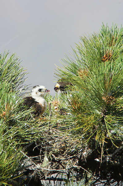 Short-tailed Hawk (Buteo brachyurus) adult female feeding nestlings; Arizona (Nesting Record)