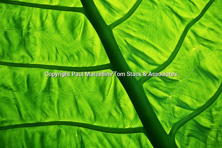 Aroid leaf