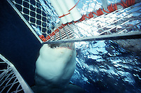Great white shark, Carcharodon carcharias
