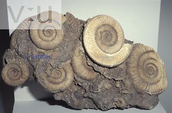 Ammonite, early Jurassic period, 178 m.y.a. (Dactylioceras ) Germany